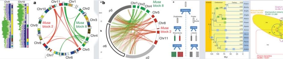 The banana (Musa acuminata) genome and the evolution of monocotyledonous plants