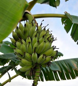 Banana fruits growing