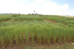 Linseed Trial Field in Ethiopia