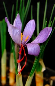 The saffron crocus, C. sativus