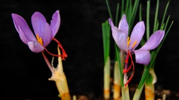 Crocus sativus flowers with the stigmas used for saffron