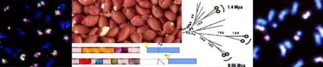 Peanut genome structure: a tetraploid with many repetitive elements