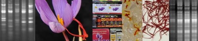 Saffron Crocus: molecular work in Leicester