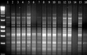 Saffron Crocus shows no confirmed diversityy in IRAP DNA 'fingerprint' gels