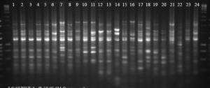 Crocus species show wide diversity in IRAP DNA fingerprint within and between species
