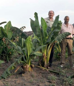 Ensete trails - Ethiopian banana - trials with PHH and  Bizuayoue Tesdaye. An important crop for food security in drought years