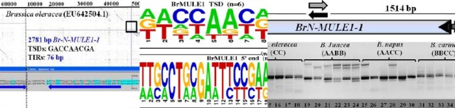 Brassica Mutatot-like MULE transposons. Nouroz et al. 2015