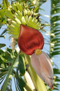 Banana fruit bunch with male flower