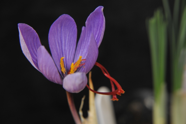 _phh6001SaffronCrocusFlower