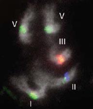 PetuniaNaturePVCVchromosomes.jpg