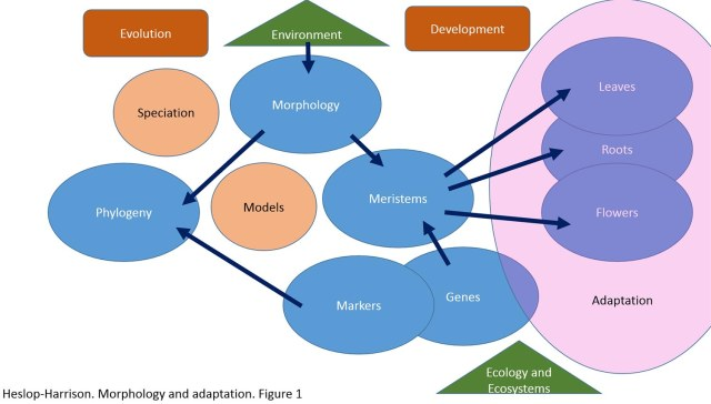 Plant adaptation arises from their morphology, itself a product of evolution and development. In this figure, the aspects and interactions of research at different levels are shown, with the work having implications across botany, including understanding plant phylogeny and speciation, and for ecology and ecosystems.