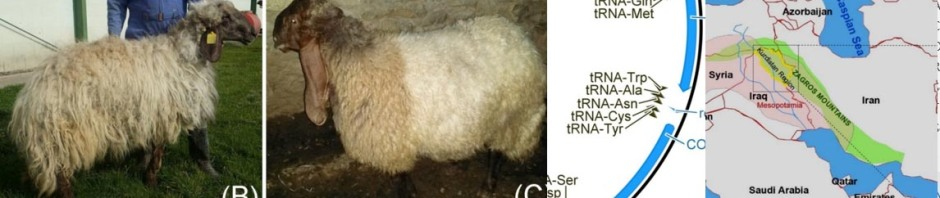 Kurdistani sheep breeds and part of their mitochondrial genome From Mustafa et al. Mitochondrial DNA part A 2018.