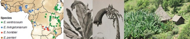 Ensete review: Borrell et al. Annals of Botany mcy214 2019